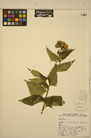 (Senecio triangularis - ERM1002)  @11 [ ] CreativeCommons - Attribution Non-Commercial Share-Alike (2013) Unspecified UBC Herbarium