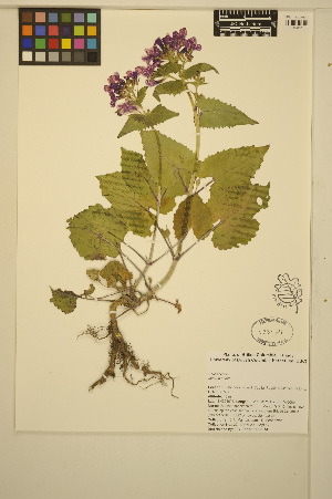 (Lunaria - MF22)  @11 [ ] CreativeCommons - Attribution Non-Commercial Share-Alike (2014) Unspecified UBC Herbarium