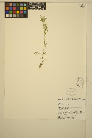 (Cardamine oligosperma - ERM439)  @11 [ ] CreativeCommons - Attribution Non-Commercial Share-Alike (2014) Unspecified UBC Herbarium