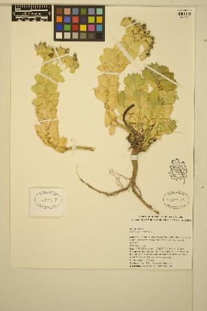 (Euphorbia myrsinites - ERM1734)  @11 [ ] CreativeCommons - Attribution Non-Commercial Share-Alike (2014) Unspecified UBC Herbarium