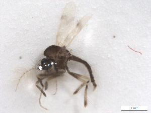 (Corethrellidae - BIOUG01785-F10)  @13 [ ] CreativeCommons - Attribution Non-Commercial Share-Alike (2012) BIO Photography Group Biodiversity Institute of Ontario