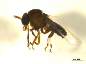(Simulium nr. metallicum s.l - BIOUG01783-H09)  @13 [ ] CreativeCommons - Attribution Non-Commercial Share-Alike (2012) BIO Photography Group Biodiversity Institute of Ontario