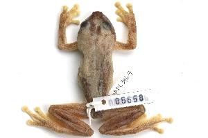 (Hyperolius bobirensis - ADL3964)  @11 [ ] CreativeCommons - Attribution Non-Commercial No Derivatives (2014) Heidi Rockney Burke Museum of Natural History