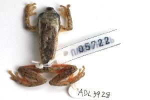 (Hyperolius picturatus - ADL3928)  @11 [ ] CreativeCommons - Attribution Non-Commercial No Derivatives (2014) Heidi Rockney Burke Museum of Natural History