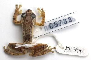 (Hyperolius sylvaticus - ADL3941)  @11 [ ] CreativeCommons - Attribution Non-Commercial No Derivatives (2014) Heidi Rockney Burke Museum of Natural History