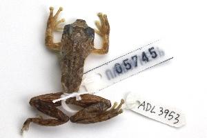 (Hyperolius sylvaticus - ADL3953)  @11 [ ] CreativeCommons – Attribution No Derivatives (by-nd) (2014) Heidi Rockney Burke Museum of Natural History