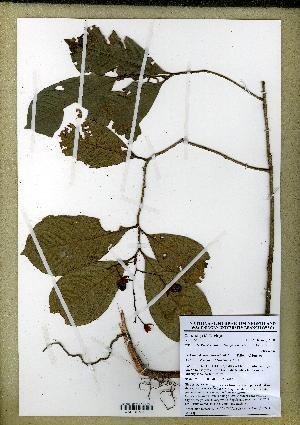 (Ochnaceae - JJW6156)  @11 [ ] Unspecified (default): All Rights Reserved  Unspecified Unspecified