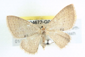 (Larentiinae - BIOUG04672-G04)  @16 [ ] CreativeCommons - Attribution Non-Commercial Share-Alike (2013) BIO Photography Group Biodiversity Institute of Ontario