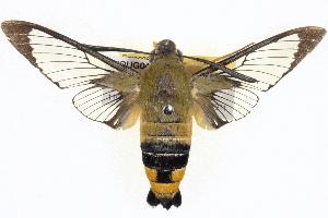 (Macroglossinae - BIOUG04675-G09)  @16 [ ] CreativeCommons - Attribution Non-Commercial Share-Alike (2013) CBG Photography Group Centre for Biodiversity Genomics