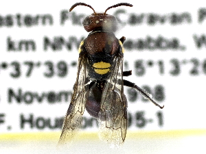 (Meroglossa rubricata - CCDB-27396-B06)  @11 [ ] CreativeCommons - Attribution Non-Commercial Share-Alike (2016) CBG Photography Group Centre for Biodiversity Genomics