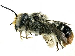 (Megachile ignita - CCDB-27396-C12)  @11 [ ] CreativeCommons - Attribution Non-Commercial Share-Alike (2016) CBG Photography Group Centre for Biodiversity Genomics