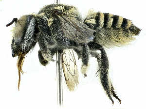 (Megachile macularis - CCDB-27396-D02)  @11 [ ] CreativeCommons - Attribution Non-Commercial Share-Alike (2016) CBG Photography Group Centre for Biodiversity Genomics