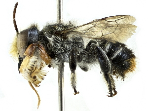 (Megachile chrysopyga - CCDB-27396-D03)  @15 [ ] CreativeCommons - Attribution Non-Commercial Share-Alike (2016) CBG Photography Group Centre for Biodiversity Genomics