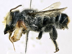 (Megachile chrysopyga - CCDB-27396-D04)  @11 [ ] CreativeCommons - Attribution Non-Commercial Share-Alike (2016) CBG Photography Group Centre for Biodiversity Genomics