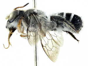 (Megachile aurifrons - CCDB-27396-E01)  @11 [ ] CreativeCommons - Attribution Non-Commercial Share-Alike (2016) CBG Photography Group Centre for Biodiversity Genomics