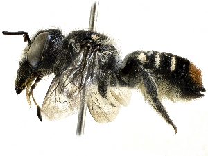 (Megachile axillaris - CCDB-27396-H09)  @11 [ ] CreativeCommons - Attribution Non-Commercial Share-Alike (2016) CBG Photography Group Centre for Biodiversity Genomics