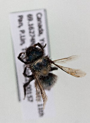 (Osmia tanneri - CCDB-20944 C10)  @12 [ ] Unspecified (default): All Rights Reserved (2014) Royal Saskatchewan Museum Royal Saskatchewan Museum