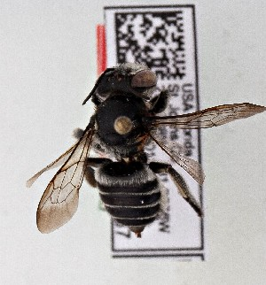 (Megachile pruina - CCDB-20944 D01)  @12 [ ] Unspecified (default): All Rights Reserved (2014) Royal Saskatchewan Museum Royal Saskatchewan Museum