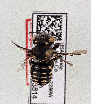 (Anthidium maculifrons - CCDB-20944 E07)  @12 [ ] Unspecified (default): All Rights Reserved (2014) Royal Saskatchewan Museum Royal Saskatchewan Museum