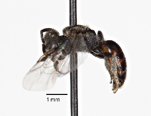 (Sphecodes Sphecodes - CCDB-20945 F02)  @14 [ ] No Rights Reserved (2015) Cory Sheffield Royal Saskatchewan Museum