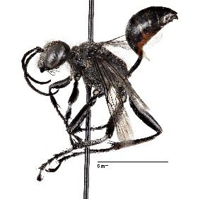 (Sphecinae - CCDB-20946 F11)  @16 [ ] No Rights Reserved (2015) Cory Sheffield Royal Saskatchewan Museum