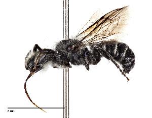 (Hoplitis sambuci - CCDB-20948 C01)  @13 [ ] No Rights Reserved (2015) Cory Sheffield Royal Saskatchewan Museum