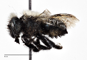 (Osmia tarsata - CCDB-20948 E02)  @11 [ ] No Rights Reserved (2015) Cory Sheffield Royal Saskatchewan Museum