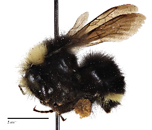 (Bombus calignosus - CCDB-25139 B01)  @11 [ ] © (2017) Cory Sheffield Royal Saskatchewan Museum