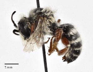 (Hoplitis paroselae - CCDB-25139 F03)  @11 [ ] © (2017) Cory Sheffield Royal Saskatchewan Museum