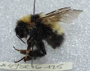 (Bombus sp. 2 - CCDB-25141 A05)  @11 [ ] © (2016) Paul H. Williams Natural History Museum