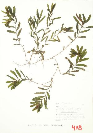 (Potamogeton crispus - ABM 014WP)  @11 [ ] CreativeCommons - Attribution Share-Alike (2012) University of Guelph OAC BIO Herbarium