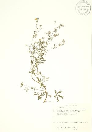(Potentilla argentea - PHK 002WP)  @11 [ ] CreativeCommons - Attribution Share-Alike (2012) University of Guelph OAC BIO Herbarium
