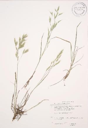 (Bromus japonicus - JAG 0726WP)  @11 [ ] by-sa - Creative Commons - Attribution Share-Alike (2012) University of Guelph OAC BIO Herbarium