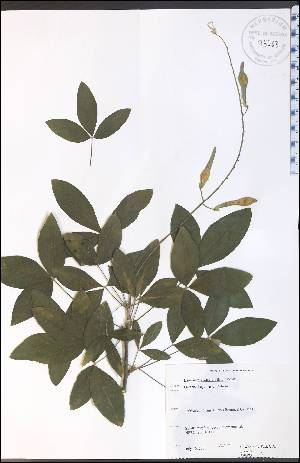 (Laburnum - SW75WEP)  @11 [ ] CreativeCommons - Attribution Non-Commercial Share-Alike (2012) University of Guelph, Canada OAC-BIO Herbarium