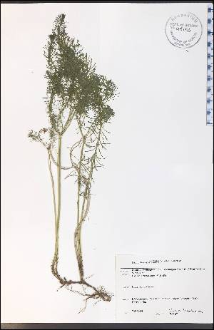 (Euphorbia cyparissias - WC-27WP)  @11 [ ] CreativeCommons - Attribution Non-Commercial Share-Alike (2012) University of Guelph, Canada OAC-BIO Herbarium