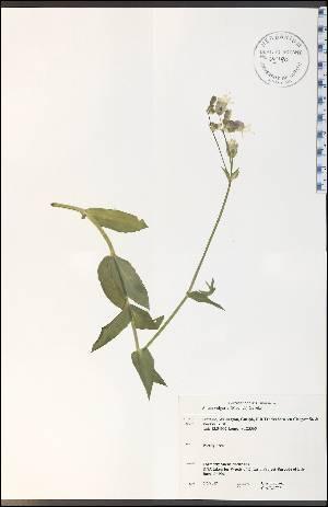 (Silene vulgaris - CAL1796WP)  @11 [ ] CreativeCommons - Attribution Non-Commercial Share-Alike (2012) University of Guelph, Canada OAC-BIO Herbarium