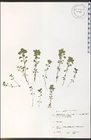(Euphorbia peplus - CAL1810WP)  @11 [ ] CreativeCommons - Attribution Non-Commercial Share-Alike (2012) University of Guelph, Canada OAC-BIO Herbarium