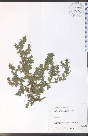 (Amaranthus graecizans - WC-102WP)  @11 [ ] by-nc-sa - Creative Commons - Attribution Non-Comm Share-Alike (2012) University of Guelph, Canada OAC-BIO Herbarium