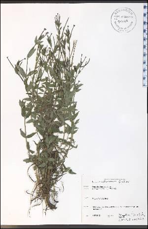 (Epilobium coloratum - WC-85WP)  @11 [ ] CreativeCommons - Attribution Non-Commercial Share-Alike (2012) University of Guelph, Canada OAC-BIO Herbarium