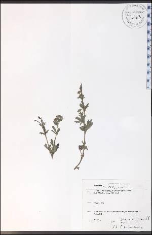 (Potentilla norvegica - WC-103WP)  @11 [ ] CreativeCommons - Attribution Non-Commercial Share-Alike (2012) University of Guelph, Canada OAC-BIO Herbarium