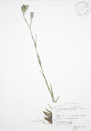 (Dianthus armeria - RBG 109WP)  @11 [ ] CreativeCommons - Attribution Share-Alike (2012) University of Guelph OAC BIO Herbarium