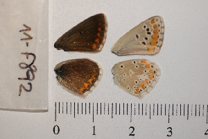 ( - RVcoll.12-Z361)  @12 [ ] Butterfly Diversity and Evolution Lab (2014) Roger Vila Institute of Evolutionary Biology