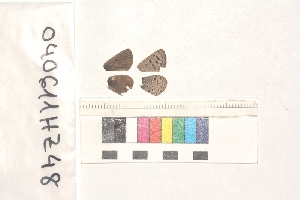( - RVcoll.040611HZ48)  @12 [ ] Butterfly Diversity and Evolution Lab (2014) Roger Vila Institute of Evolutionary Biology