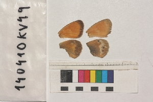 ( - RVcoll.140410KV49)  @12 [ ] Butterfly Diversity and Evolution Lab (2014) Roger Vila Institute of Evolutionary Biology