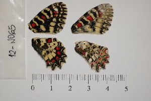 ( - RVcoll.150308GV83)  @11 [ ] Butterfly Diversity and Evolution Lab (2014) Roger Vila Institute of Evolutionary Biology
