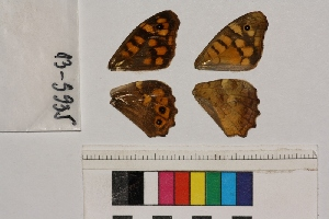 ( - RVcoll.13-S935)  @12 [ ] Butterfly Diversity and Evolution Lab (2014) Roger Vila Institute of Evolutionary Biology