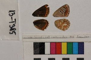 ( - RVcoll.13-T385)  @12 [ ] Butterfly Diversity and Evolution Lab (2014) Roger Vila Institute of Evolutionary Biology