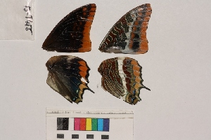 ( - RVcoll.13-T455)  @12 [ ] Butterfly Diversity and Evolution Lab (2014) Roger Vila Institute of Evolutionary Biology