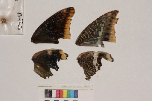 ( - RVcoll.13-T456)  @12 [ ] Butterfly Diversity and Evolution Lab (2014) Roger Vila Institute of Evolutionary Biology