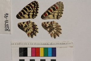 ( - RVcoll.13-U558)  @11 [ ] Butterfly Diversity and Evolution Lab (2014) Roger Vila Institute of Evolutionary Biology